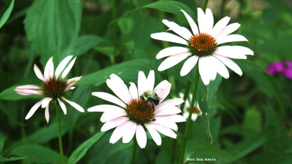 Echinacea, a pale form. åΩ/MDK