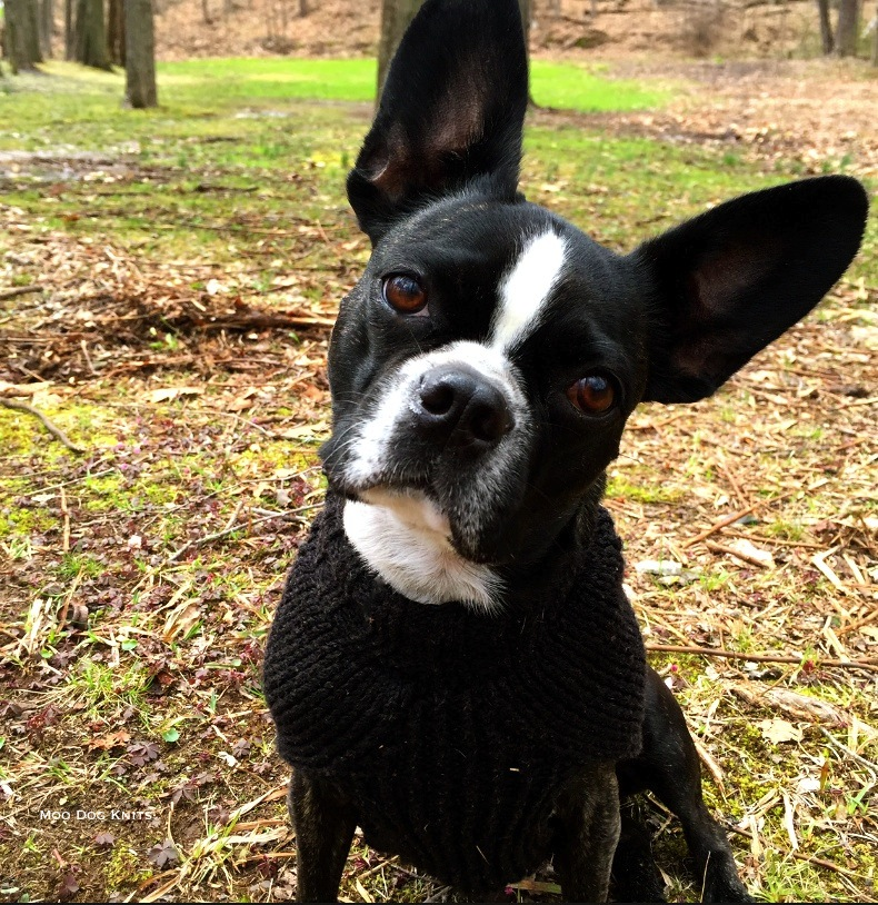 Custom knitted sweater on a slim Boston terrier.