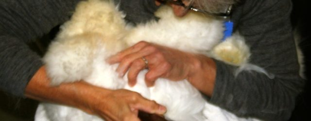 Shearing a rabbit at The Fiber Festival of New England.